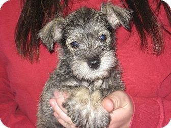 Schnauzer (Miniature) Puppy for adoption in Salem, New Hampshire - Anja