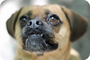 Pug/Beagle Mix Dog for adoption in Tinton Falls, New Jersey - Tasha