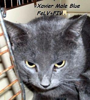 Domestic Mediumhair Cat for adoption in Hazard, Kentucky - Xavier