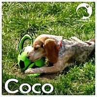 Adopt A Pet :: Coco - Pittsburgh, PA