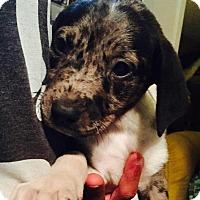 Adopt A Pet :: Annabelle - Dumfries, VA