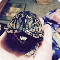 Adopt A Pet :: THEODORE the Musk Turtle - DeLand, FL
