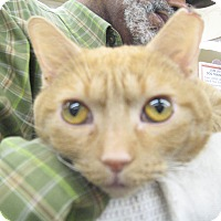 Adopt A Pet :: Ginger Ale - New york, NY