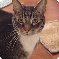 Domestic Shorthair Cat for adoption in Cleveland, Ohio - Charlie
