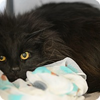 Adopt A Pet :: Maleficent - Gardnerville, NV