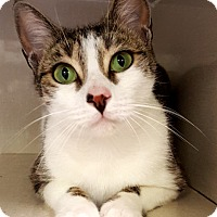 Domestic Shorthair Cat for adoption in Key Largo, Florida - May