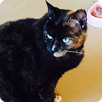 Calico Cat for adoption in Goshen, New York - Druella