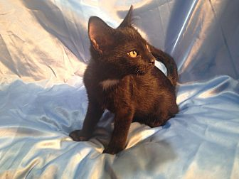 Domestic Shorthair Kitten for adoption in Sarasota, Florida - Jorge