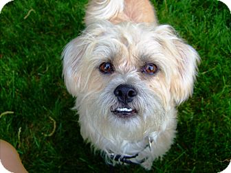 Shih Tzu/Terrier (Unknown Type, Small) Mix Dog for adoption in Kalamazoo, Michigan - Baby Boi AKA Benny - Kara