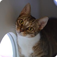 Domestic Shorthair Cat for adoption in Gainesville, Florida - Olivia