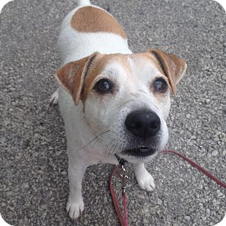 Jack Russell Terrier Mix Dog for adoption in Mount Hope, Ontario - Tommy