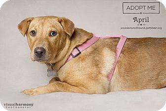 Labrador Retriever/Shar Pei Mix Puppy for adoption in Phoenix, Arizona - April