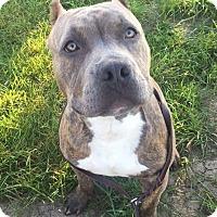 Adopt A Pet :: T-Bone - Villa Park, IL