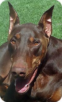 Doberman Pinscher Dog for adoption in Las Vegas, Nevada - Zeus