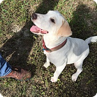 Labrador Retriever Mix Dog for adoption in Austin, Texas - Annie
