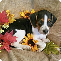 Beagle Mix Puppy for adoption in Manchester, New Hampshire - Barney - pending