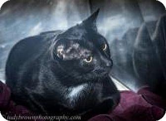 Domestic Shorthair Cat for adoption in Wellesley, Massachusetts - Salem