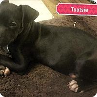 Boxer/Labrador Retriever Mix Puppy for adoption in Victorville, California - Princess Tootsie