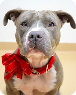 Pit Bull Terrier Mix Dog for adoption in Dublin, California - Maya
