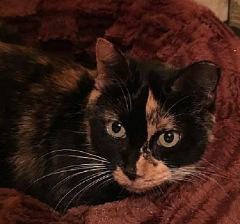 Calico Cat for adoption in Putnam Hall, Florida - Missy