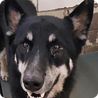 Alaskan Malamute Mix Dog for adoption in Fort Smith, Arkansas - Sam