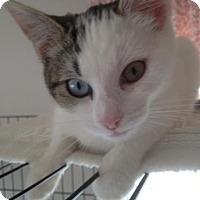 Domestic Shorthair Kitten for adoption in Salem, Massachusetts - Sneakers