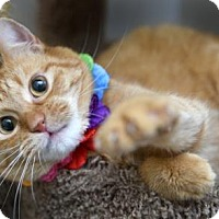 Adopt A Pet :: Victoria the Wonder Cat - Chattanooga, TN