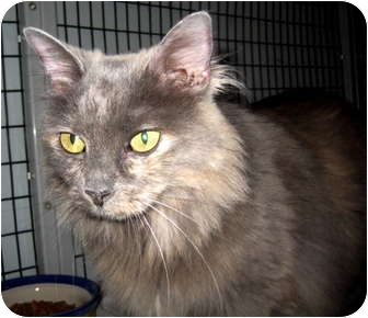 Domestic Longhair Cat for adoption in Deerfield Beach, Florida - Frangelica