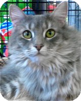 Maine Coon Cat for adoption in Atlanta, Georgia - Sophie