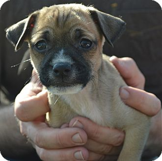 Cairn Terrier/Chihuahua Mix Puppy for adoption in Los Angeles, California - Jethro