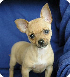 Chihuahua Mix Puppy for adoption in Sacramento, California - Kourtney