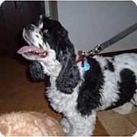 Adopt A Pet :: Missy - Tacoma, WA