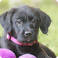 Adopt A Pet :: Caira - Austin, TX