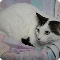 Domestic Shorthair Cat for adoption in Sebastian, Florida - Bay Shore