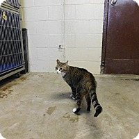 Domestic Shorthair Cat for adoption in Houston, Texas - KIKI
