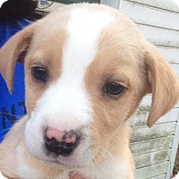 Adopt A Pet :: Kathy's Puppy # 1 - E. Greenwhich, RI