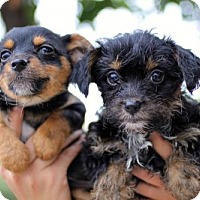 Adopt A Pet :: Three Musketeers Puppies - Females - San Diego, CA