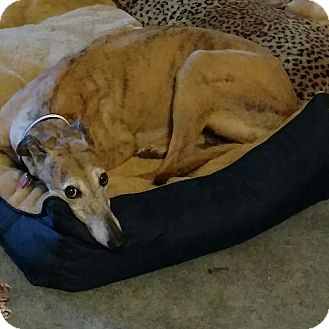 Greyhound Dog for adoption in Ashland City, Tennessee - Skittles