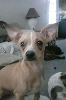 Chihuahua/Dachshund Mix Puppy for adoption in Inverness, Florida - Rambo