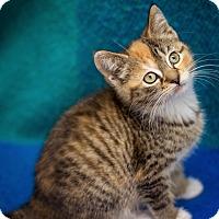 Adopt A Pet :: Misty - Millersville, MD