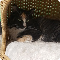 Calico Cat for adoption in Cody, Wyoming - Flame