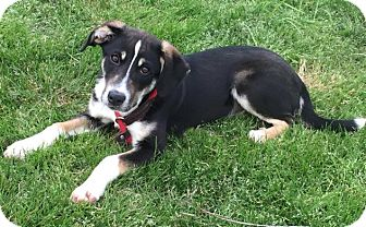 Australian Shepherd/Sheltie, Shetland Sheepdog Mix Dog for adoption in Cedartown, Georgia - Olivia