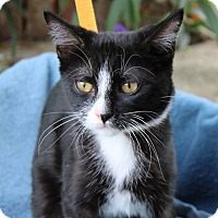 Domestic Shorthair Kitten for adoption in Ocean Springs, Mississippi - Virginia