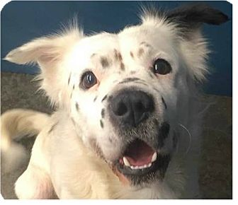 Spaniel (Unknown Type)/Retriever (Unknown Type) Mix Dog for adoption in Springdale, Arkansas - Blue