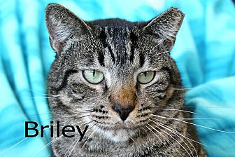Domestic Shorthair Cat for adoption in Wichita Falls, Texas - Briley