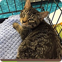 Domestic Shorthair Kitten for adoption in Mansfield, Texas - Magellan