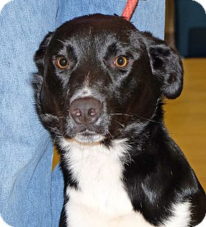 Border Collie/Labrador Retriever Mix Dog for adoption in Spokane, Washington - Zeus