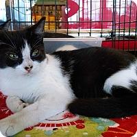 Domestic Shorthair Kitten for adoption in Fischer, Texas - Tiny