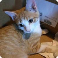 Adopt A Pet :: Niklaus - Middletown, OH