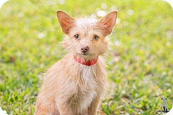 Terrier (Unknown Type, Small) Mix Puppy for adoption in Fort Atkinson, Wisconsin - Hawkeye